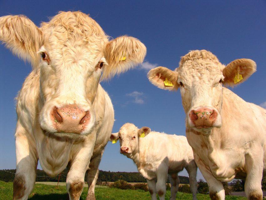 Tipos de Vacas en España y su Localización